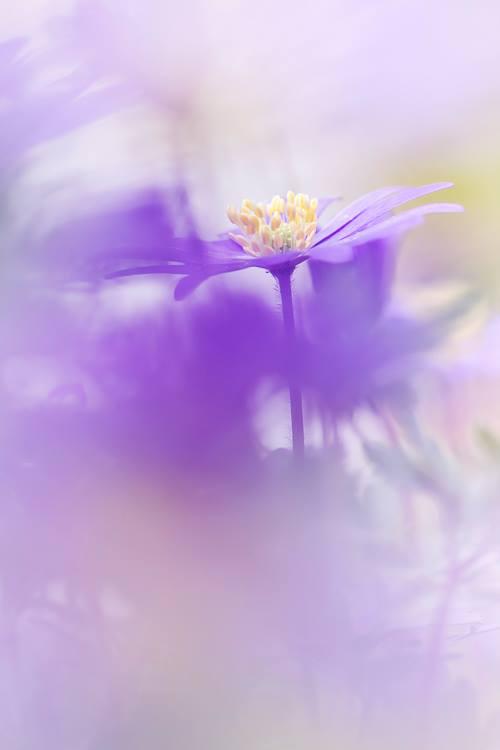 Makrofotografie-lila